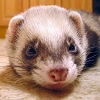 Puzzles with Ferrets